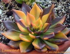 Echeveria 'Bess Bates' en Europe et sous le nom Variegated Echeveria 'Black Prince' ailleurs - photo : Laurent