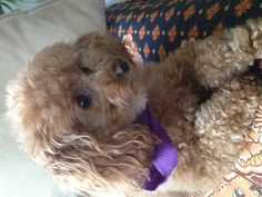 Apricot toy poodle loving little pup, Cheyenne.