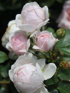 alain blanchard suche rosen von schultheis stauden. Black Bedroom Furniture Sets. Home Design Ideas