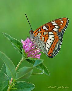 ~~Poplar Admiral Butterfly by Leonid Fedyantsev~~