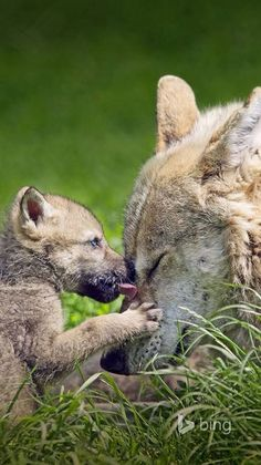 She has respect from her pup - Cutest Baby Animals Wolf Photos, Wolf Pictures, Animal Pictures, Beautiful Wolves, Animals Beautiful, Simply Beautiful, Cute Baby Animals, Animals And Pets, Tier Wolf
