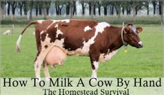 The Homestead Survival   How to Milk a Cow by Hand – Video   http://thehomesteadsurvival.com - Homesteading