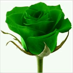 Green Rose Flower Seeds Lover's Gift Price for Package of 5 seeds. Extremely beautiful and still rare Green Green Rose, Green Flowers, Colorful Flowers, Flowers Gif, Beautiful Rose Flowers, Cut Flowers, Wild Irish Rose, Flowers Black Background, Dianthus Caryophyllus