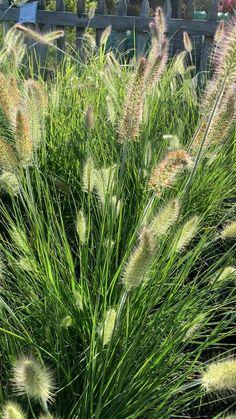 Dry Garden, Gravel Garden, Bamboo Garden, Love Garden, Australian Native Garden, Fountain Grass, Outdoor Garden Decor, Mediterranean Garden, Desert Plants