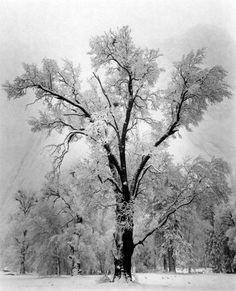 Oak Tree, Snowstorm    Yosemite National Park, California