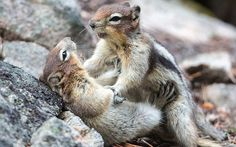 Two ground squirrels play-fight each other in Jasper National Park, Alberta in Western Canada.