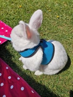Best Leash, Lead and  Harness for Rabbits!              Rabbit - Collars, Leads Rabbit Facts, Rabbit Breeds, Rabbit Eating, Bunny Care, House Rabbit, Pet Accessories, New Toys, Guinea Pigs, Color Red