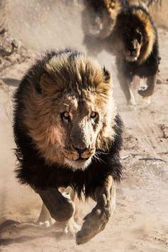 wolverxne:  Running Lions II, Africa| (by:Fabian Gieske)