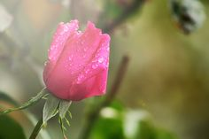 Pink Rose - OGQ Backgrounds HD