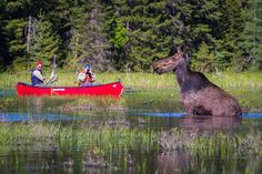 Approaching Moose in a Canoe. A truly Canadian moment!