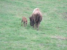 First Born 2015 finding his legs at Boss Bison Ranch, Cadiz Ohio
