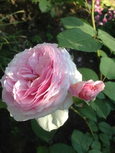 David Austin roses D Galvey
