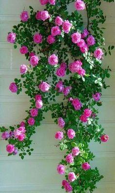 Beautiful Flowers Wallpapers, Beautiful Rose Flowers, Exotic Flowers, Amazing Flowers, My Flower, Pretty Flowers, Beautiful Gardens, Romantic Roses, Beautiful Life
