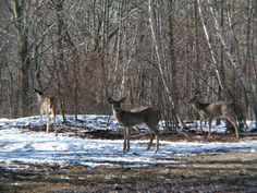 White-tailed deer in winter from an #Article Shed Hunting Deer Antlers in Missouri - News - Bubblews