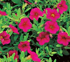 Calibrachoa Million Bells® Cherry Pink  This is a genus of Petunia look-alikes, which the breeder refers to collectively as Million Bells. This variety has intense cerise-pink flowers, The plants are compact, low growers with fine foliage and 1 in, trumpet-shaped blooms that open nonstop until hard frost without need of deadheading. Indispensable for use in containers and hanging baskets