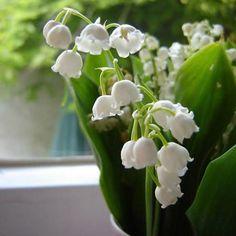 Flores blancas- lirio del valle