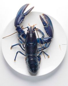 A fan of Lobster? An estimated one in 2 million lobsters are blue. Think Food, Love Blue, Looks Cool, Fish And Seafood, Coastal Decor, Coastal Living, Sea Creatures, Hummer, Food Styling