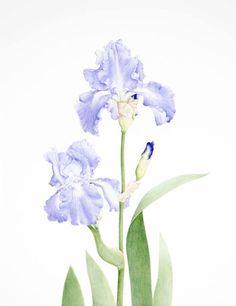 Iris germanica 'Spring Child' by Dawn Price watercolour