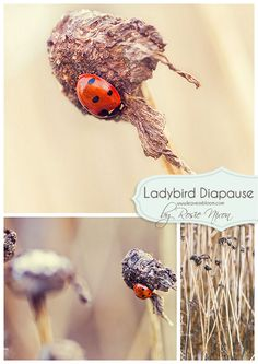 Ladybird diapause details on my blog http://www.leavesnbloom.com/2015/01/7-spot-ladybird-winter-diapause-scotland.html