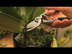 Where to Cut an Orchid Plant : Orchid Care & More