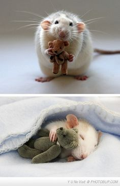 Understandably, rats are not everyone's favorite. But--come one! This is adorable. <3 rats!