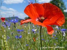 """Poster """"Coquelicots et bleuets"""" 75x50cm d'une photo artistique de fleur de coquelicot. : Photos par celinephotosartnature Paint Prep, Champs, Poppies, Images, Painting, Nature, Flowers, Plants, Photos"""