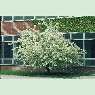 SaylorPlants.com - Arnold Crabapple ( Malusarnoldiana ) - one of the crabapple types that was planted in '45 at KU.