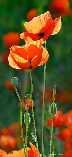 good morning with orange flowers ; good morning thursday with orange flowers Orange Poppy, Orange Flowers, Red Poppies, Poppy Flowers, Sun Flowers, Exotic Flowers, Orange Red, Yellow Roses, Pink Roses