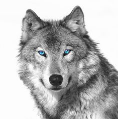 white wolves with bright blue eyes - Google Search