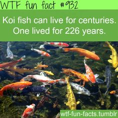 Social media fun fact laughter is the best medicine for Koi fish for sale california
