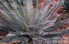 Cycas panzhihuaensis.  This is a great cycad that comes from China.  It is hardy, colorful (green-grey), doesn't get too large and can grow in either sun or shade.