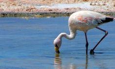 Flamingos e sal petrificado no Salar de Atacama, no Chile