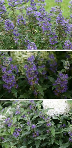 Proven Winners - Beyond Midnight® - Bluebeard - Caryopteris x clandonensis blue rich plant details, information and resources. Blue Flowering Shrubs, Deer Resistant Shrubs, Front Yard Plants, Arbors Trellis, Blue Plants, Late Summer, Spring Summer, Summer Landscape, Summer Colors