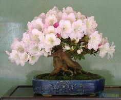 Azalea Bonsai...! Perfect Flowers, Beautiful Trunk.