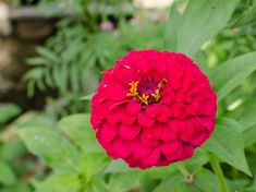 Flower Meanings - List of Flowers With Their Meanings And Pictures - Gardenerdy Zinnias, Daffodils, Apricot Blossom, Ginger Flower, List Of Flowers, Blossom Garden, Butterfly Weed, Love Lily, Flower Meanings