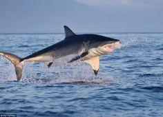 Leap: A Great White hurls itself out of the water as it attempts to grab a Cape Fur seal in the waters around Seal Island.