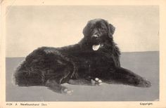 A Newfoundland Dog Antique Postcard (J8679)