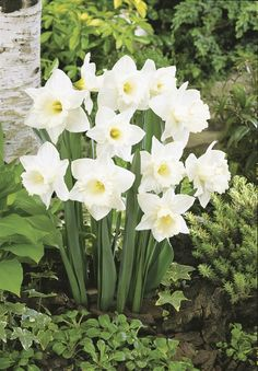 Gorgeous Flowers Garden & Love — Mount Hood Daffodils Flowers Garden Love