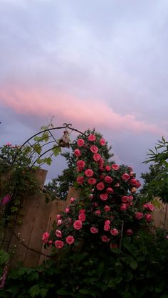 Pink roses # pink sky