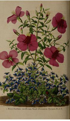 Monochaetum calcaratum [as Monochaetum ensiferum] and Veronica syriaca. La Belgique horticole, journal des jardins et des vergers, vol.7- t.42 (1857)