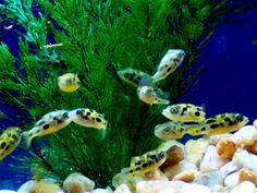 Spotted Pea Puffers. Cute but with attitude! Best in a species only tank. Ive had several of these guys and they are super fun to watch. Smallest freshwater puffer, only grows to 1 inch in size