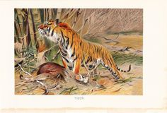 1901 Animal Print - Tiger - Vintage Antique Book Plate for Natural Science or History Lover Great for Framing 100 Years Old. $15.00, via Etsy.