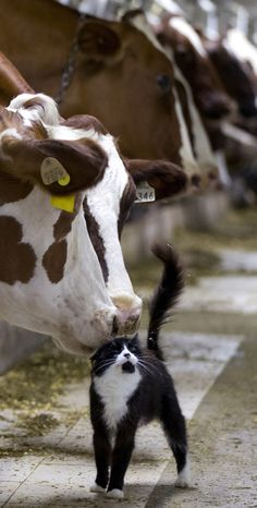 Dairy cows nuzzle a barn cat as they wait to be milked at a farm in Granby, Quebec