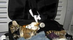 bangkok airport tiger cub found during security luggage check