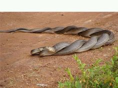 Entwined - how snakes mate. Go to www.YourTravelVideos.com or just click on photo for home videos and much more on sites like this.