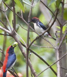 A pair of Scarlet-backed Flowerpickers.