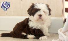Andy – Shih Tzu Puppy www.keystonepuppies.com  #keystonepuppies #shihtzu