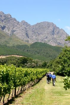 """Wine Spectator- Stirring the Lees with James Molesworth-The South Africa Diary: Boekenhoutskloof """"At Boekenhoutskloof in Franschoek, the most compelling wine comes from mutated 111-year-old Sémillon vines."""""""