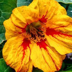 #kwiat#nasturcja #ulubionekwiaty #przyroda #flowers #nasturtium #garden