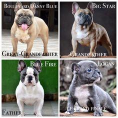 Family! @loganbulldogg Puppy blue french bulldog